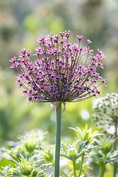Allium 'Magic'