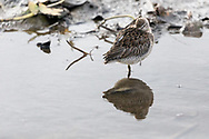 A Long-Billed Dowitcher rests at Burnaby Lake Regional Park in Burnaby, British Columbia, Canada.  This individual and its flock is most likely overwintering at Burnaby Lake before departing to breeding grounds in the spring.