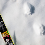 Wolverine tracks in Glacier National Park.