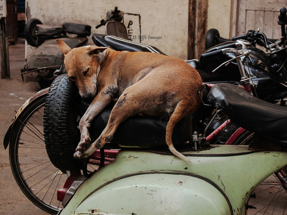 Scarred but seemingly  well fed and clean, someone's peet awaits his master.  A typical Indian slum dog, short haired and beige color.