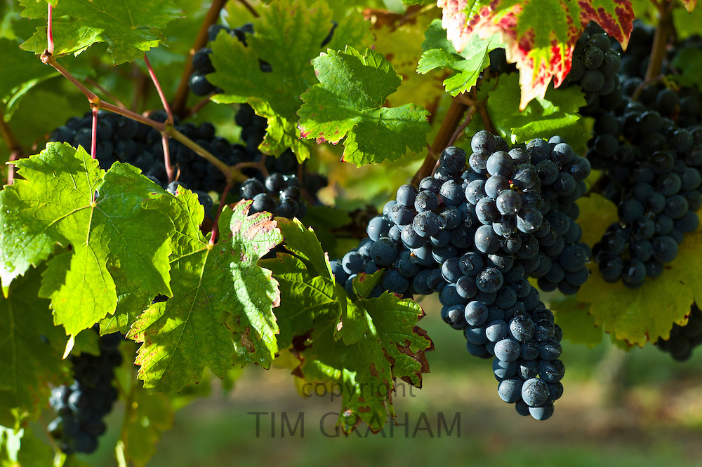 Ripe Merlot grapes on vine at Chateau Fontcaille Bellevue, in Bordeaux region of France