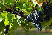 Ripe Merlot grapes on vine at Chateau Fontcaille Bellevue, in Bordeaux region of France