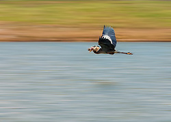 A Heron flies above the water with a fresh catch