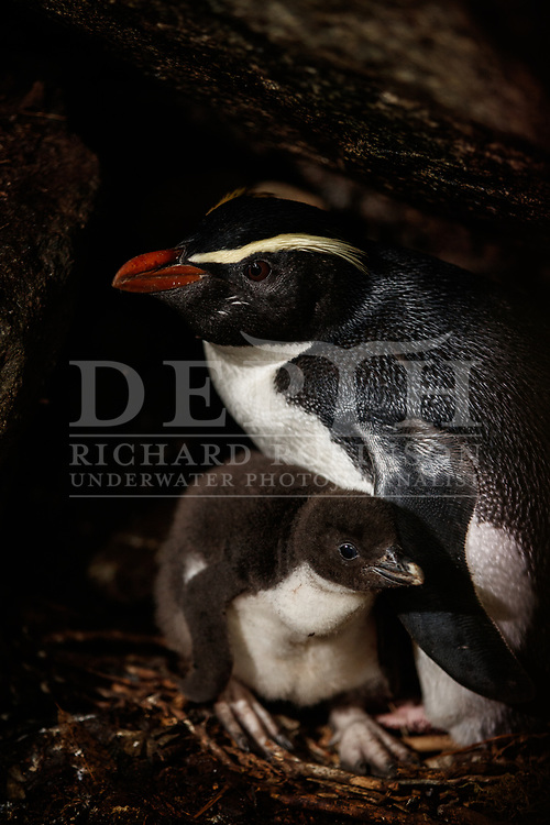 An adult and juvenile Tawaki, also known as the he Fiordland crested penguin (Eudyptes pachyrhynchus) at the Harrison Cove colony in the Milford Sound, New Zealand.<br /> 08 October 2016.<br /> Photograph Richard Robinson © 2016