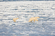 01874-12106 Polar Bear (Ursus maritimus) mother and cub jumping on ice in Hudson Bay  in Churchill Wildlife Management Area, Churchill, MB Canada
