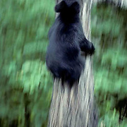 Black Bear, (Ursus americanus) Minnesota, spring cub scampers up tree, frightened by an approaching bear. Late summer.