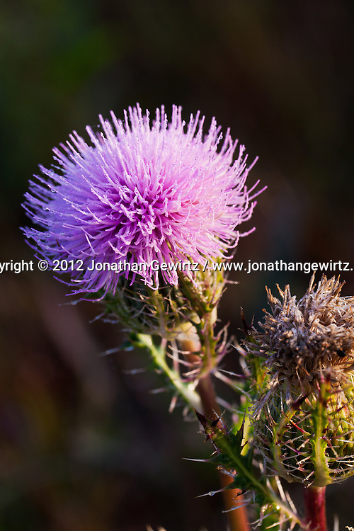 An open pink thistle bloom in the Florida Everglades. WATERMARKS WILL NOT APPEAR ON PRINTS OR LICENSED IMAGES.