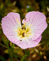 Evening Primrose (Oenothera) flowers. Image taken with a Nikon 1 V3 camera and 70-300 mm VR lens.