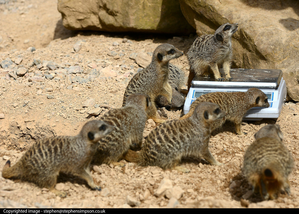 © Licensed to London News Pictures. 22/08/2012. Meerkats play on a set of scales. London, UK ZSL London Zoo conducts its annual weigh-in. Each of the 16,000 animals are measured and weighed. The information recorded is sent to zoos around the world. Photo credit : Stephen Simpson/LNP
