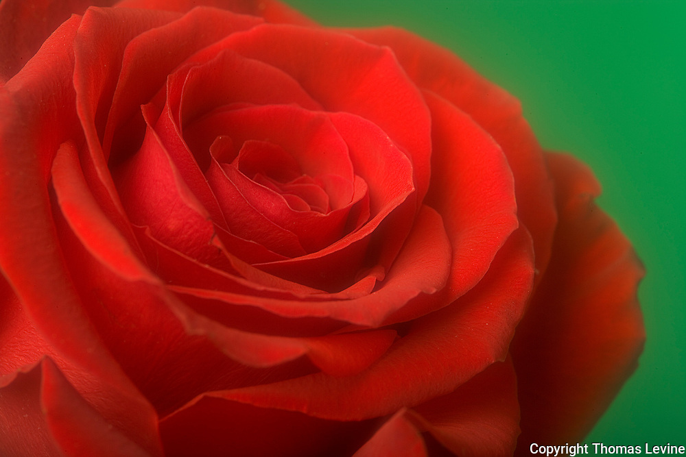 Red Rose against green background