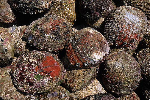 Mexico, Industry, Abalone caught by fisherman. San Benito Island.