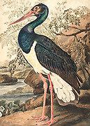 Black stork (Ciconia nigra). This wader inhabits wetland areas, feeding on fish, small animals and insects. A long-distance migrant (for breeding and wintering), it is found in scattered areas of Africa, Asia and Europe. 18th century watercolor painting by Elizabeth Gwillim. Lady Elizabeth Symonds Gwillim (21 April 1763 – 21 December 1807) was an artist married to Sir Henry Gwillim, Puisne Judge at the Madras high court until 1808. Lady Gwillim painted a series of about 200 watercolours of Indian birds. Produced about 20 years before John James Audubon, her work has been acclaimed for its accuracy and natural postures as they were drawn from observations of the birds in life. She also painted fishes and flowers. McGill University Library and Archives