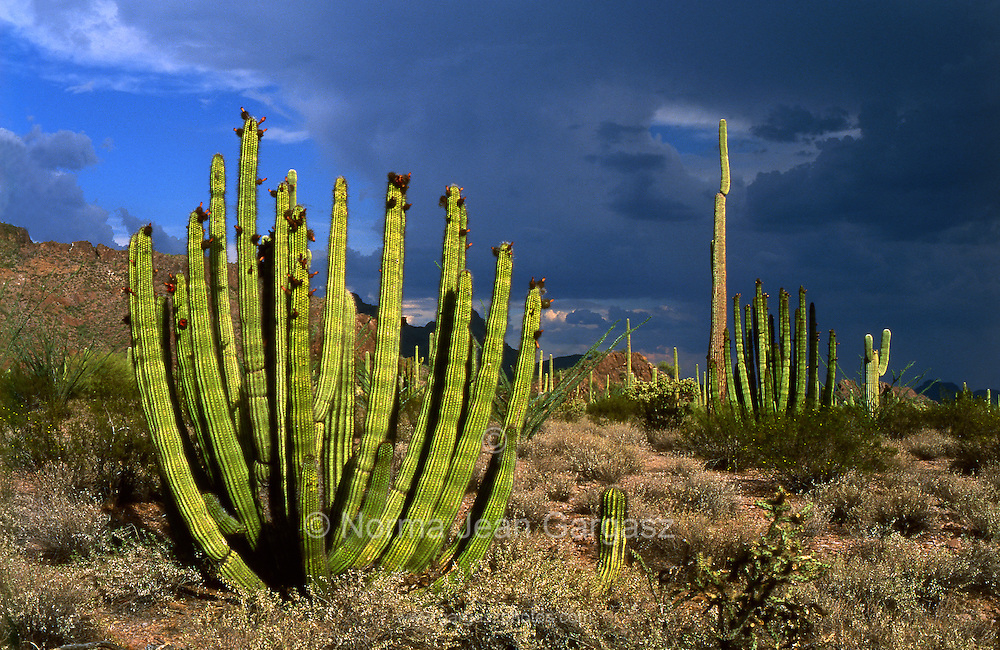 Stands of organ pipe cactus (stenocereus thurberi) topped with fruit, (left), line Ajo Mountain Drive in the foothills of the Diablo Mountains during monsoon season in Organ Pipe National Monument of the Sonoran Desert near Ajo, Arizona, USA.