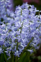 Hyacinthus orientalis 'Blue Festival' - multiflora