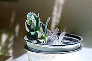 Lavender Scallops (Bryophyllum fedtschenkoi Syn Kalanchoe fedtschenkoi)
