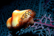 UNDERWATER MARINE LIFE CARIBBEAN, generic Flamingo tongue snail Cyphoma gibbosum