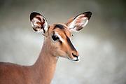 Portrait of a female black faced impala