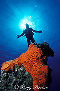 diver above orange elephant ear sponge, Agelas clathrodes,<br /> off Egg Island near Eleuthera,<br /> Bahamas ( Western Atlantic Ocean )