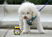 "© under license to London News Pictures. LONDON, UK  06/05/2011. Bichon Frise, Mario licks his lips whilst looking at a pot of Marmite. Dogs Enjoying Marmite at Battersea Dogs and Cats Home today (06 May 2011). 100 Jars were delivered to the home as part of a prize. You either love it or hate it, but at Battersea, marmite is causing quite a stir amongst the dogs. Jars of the yeast extract, which has polarised the nation into lovers and haters, are polished off in no time by Battersea's canine residents who have developed quite a taste for the spread. Today 100 of the famous yellow topped glass jars will cause tails to wag in the kennels when they are delivered to the Home. The year's supply of Marmite is a rather unusual, but very welcome prize to Battersea Chief Executive Claire Horton who will be presented with one of the first ever Dogs Today Endal Awards for Services to Animals. Claire Horton who requested the prize for the dogs, in favour of the usual dog food awarded,  commented: ""Battersea dogs definitely 'love it' when it comes to Marmite. We like to provide our dogs with lots of different activities throughout the week to try and help them cope better in a kennel environment. One of the dogs' favourites is licking Marmite from chew toys - it keeps them entertained for hours."" Claire will be presented with her Endal Award by Marmite Brand Manager David Titman at the 2011 London Pet Show, taking place at Kensington Olympia, tomorrow, Saturday 7th May.Photo credit should read Stephen Simpson/LNP."