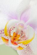 Studioaufnahmen von Zuchtformen der Orchidee Phalaenopsis