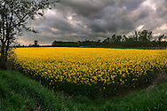 A magnificent field of rape under some threatening clouds. Taken in the countryside nearby Carignano in Piedmont, Italy. This is stitched from four vertical frames