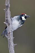 Acorn Woodpecker - Melanerpes formicivorus - Adult male