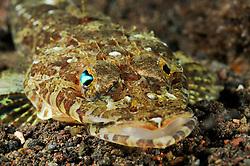 Thysanophrys celebica, Celebes-Krokodilsfisch, Celebes flathead, Tulamben, Bali, Indonesien, Indopazifik, Indonesia, Asien, Indo-Pacific Ocean, Asia
