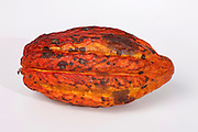 Cocoa pod (Theobroma cacao). This is the fruit of the cocoa, or cacao, tree from which cocoa beans are extracted. The leathery yellow pod contains up to 100 beans embedded in a soft pulp. These are dried, roasted and ground to produce cocoa powder, which is then used to make chocolate.
