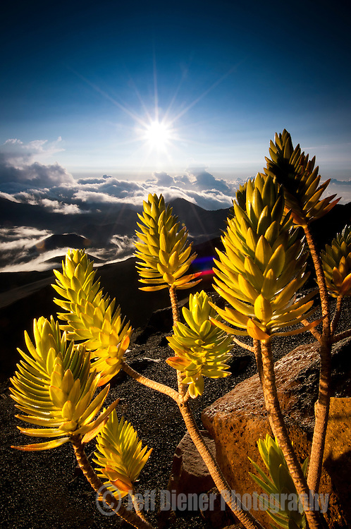 A Dubautia Menziesii plant grows on the flanks of the Haleakala Crater in Maui, Hawaii.