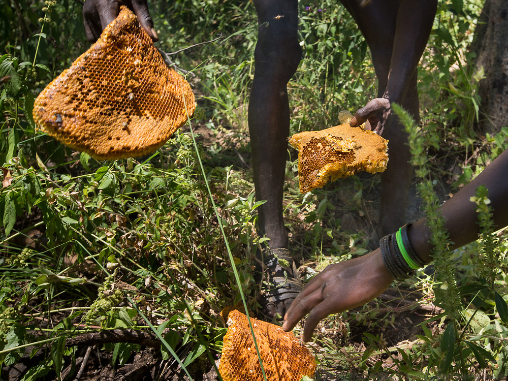 Collecting and eating honey and larvae from a beehive. At the Hadza camp of Dedauko.