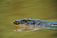 Water Monitor (Varanus salvator) swimming across the river with a small grasshopper on its head..Kinabatangan Wildlife Sanctuary, Sabah, Malaysia, Borneo.