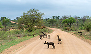 Pack of African wild dogs  (Lycano pictus) on the road in Kruger NP, South Africa.