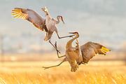 Sandhill Cranes in central Montana.