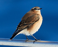 Northern Wheatear (Oenanthe oenanthe). Viewed from the deck of the MV Explorer. Image taken with a Nikon N1V1 camera and 70-300 mm VR lens.