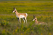 Pronghorn on the Rocky Mountain Front.