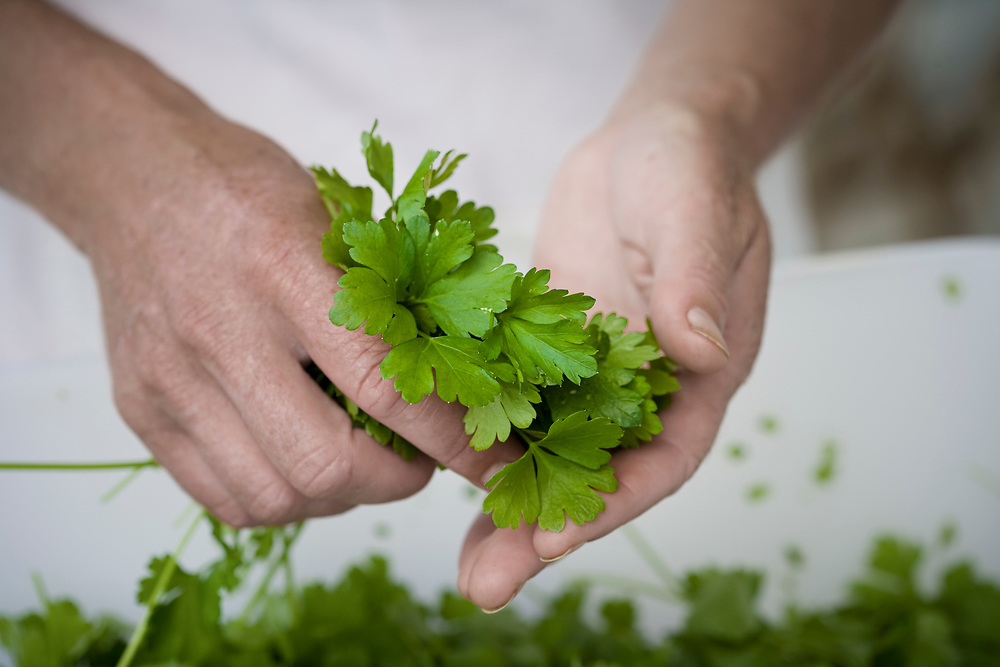 hydroponic grown coriander being cut for packaging at hydroponic herb farm