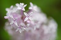 Wild Common Lilac in bloom, Syringa vulgaris, Beiyue Hengshan Mountain, Datong, Hunyuan County, Shanxi Province, China