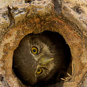 Northern Pygmy Owl, (Glaucidium gnoma) Nesting in cavity of tree. One of the smallest owls in North America. An aggressive predator, this owl will sometimes catch birds larger than itself, its favorite target is songbirds. Montana. Summer.