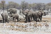 African Elephant <br /> Loxodonta africana<br /> At waterhole with springbok<br /> Etosha National Park, Namibia