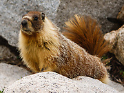 Yellow-bellied marmot (Marmota flaviventris) on Piute Pass Trail in John Muir Wilderness, Inyo National Forest, Mono County, California, USA.
