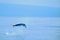 mahi mahi, dolphin fish, or dorado, .Coryphaena hippurus, cow jumping, .Kona, Big Island, Hawaii (Pacific).
