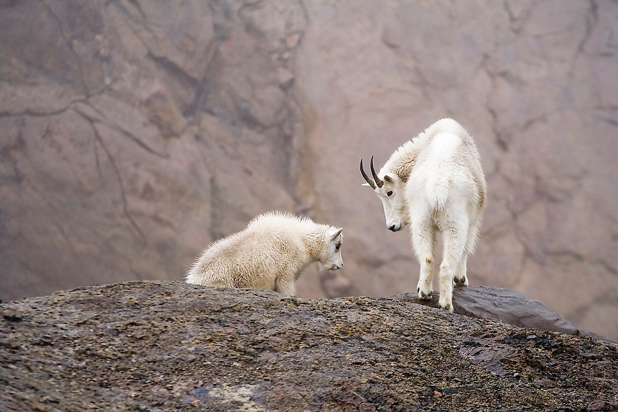 A female mountain goat (Oreamnos americanus) and her kid share a moment near a cliff edge above Ingalls Lake, Alpine Lakes Wilderness, Washington.