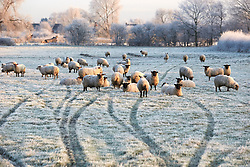 © Licensed to London News Pictures.  12/12/2012. WENDOVER, UK. Sheep graze in a frozen field in the Chilterns near Wendover. Overnight freezing temperatures combined with fog created a hoarfrost covering everything in ice crystals and turning the landscape white. Photo credit :  Cliff Hide/LNP