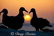 black-footed albatross, Phoebastria nigripes, courting at sunset, Sand Island, Midway Atoll, Midway National Wildlife Refuge, Papahanaumokuakea Marine National Monument, Northwest Hawaiian Islands, USA ( North Pacific Ocean )