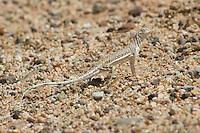 Zebra-tailed lizard, Callisaurus draconoides, Red Rock Canyon State Park, California