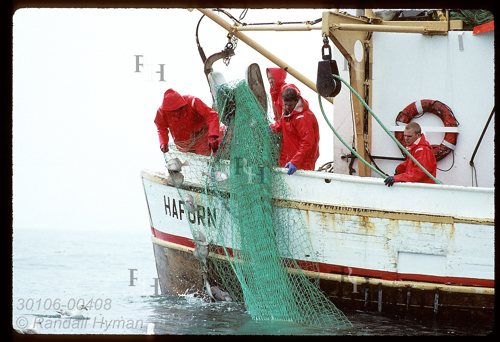 Fishermen wrestle net full of plaice aboard stern of gillnet boat on a July day in Faxafloi Bay. Iceland