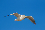 A gull rides the rising air along the line of dunes at Herring Cove Beach, Provincetown.