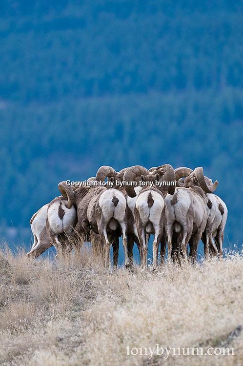 bighorn sheep herd, trophy bighorn sheep ram herd wild rocky mountain big horn sheep