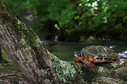 Wood Turtle (Glyptemys insculpta)<br /> CAPTIVE<br /> USA<br /> HABITAT & RANGE: Near streams and rivers form Nova Scotia to Minnesota and Virginia.<br /> ENDANGERED SPECIES