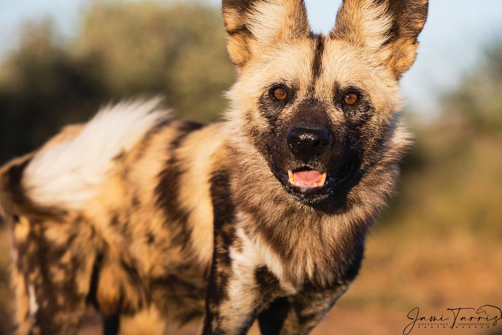 An alert and curious African wild dog (Lycaon Pictus) giving eye contact, Kalahari Desert, Botswana, Africa